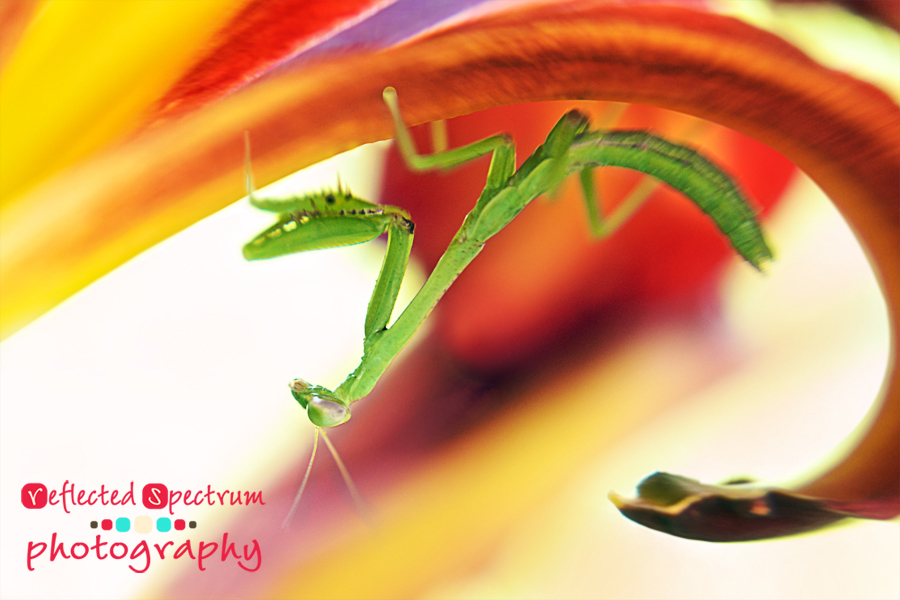 A Close-Up Image of Praying Mantis Underneath A Day Lily Petal